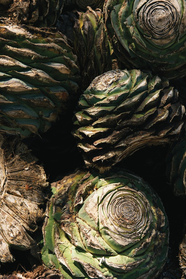 The hearts of the agave plant, the basis for mezcal, resemble a pineapple